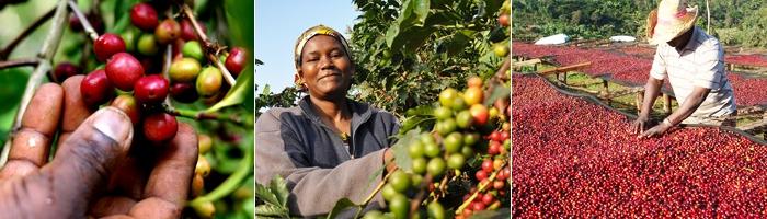 Африканский кофе в зернах